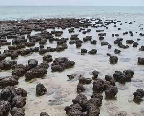 Stromatolites-Sharkbay