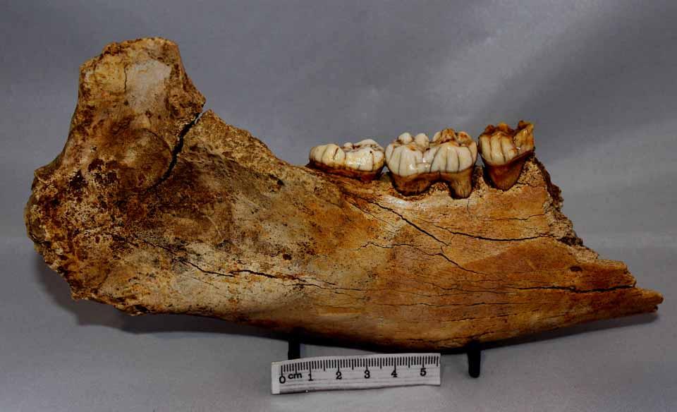 cave bear mammal fossil